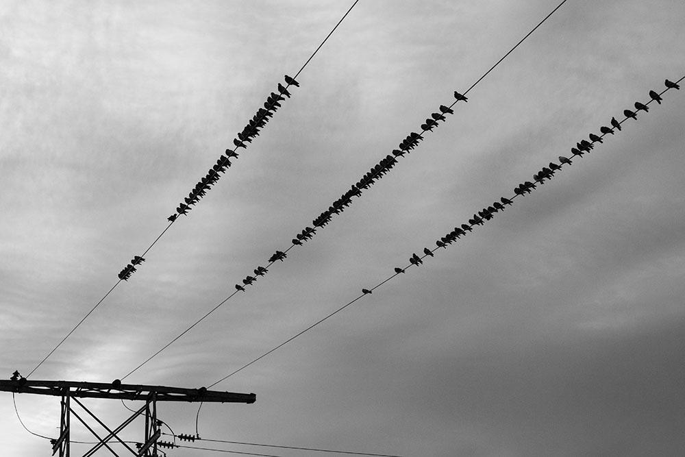 Chim dây điện