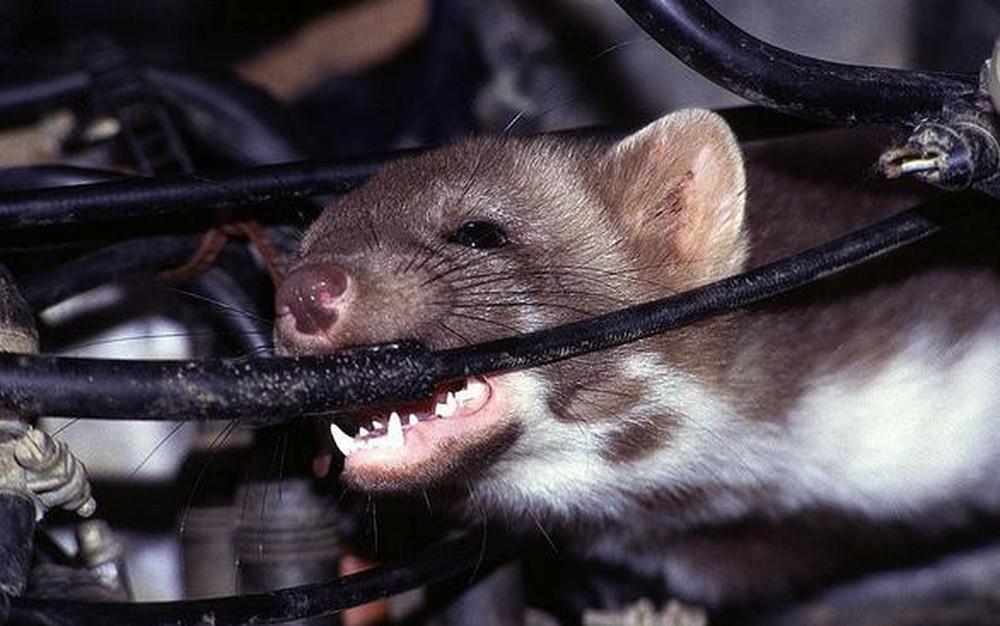 Chuột cắn dây điện có bị giật không